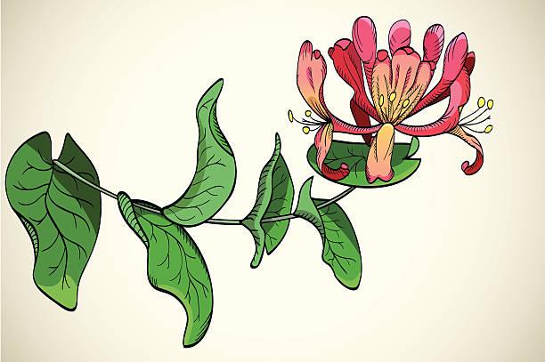 flowers of honeysuckle  honeysuckle stock illustrations