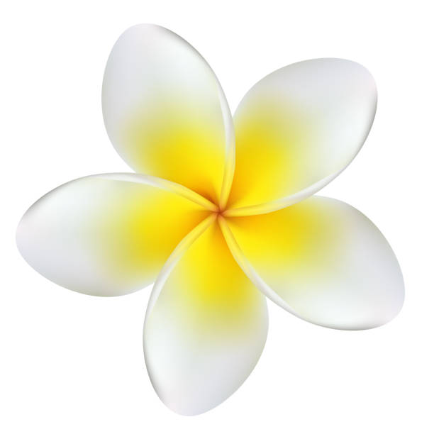 Flowers. Plumeria. Frangipani. Yellow. Spa. Tropical plants. Flower illustration. Flowers. Plumeria. Frangipani. Yellow. Spa. Tropical plants. Flower illustration. frangipani stock illustrations