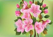 Flowers sakura.