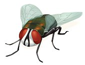 Vector illustrated fly.