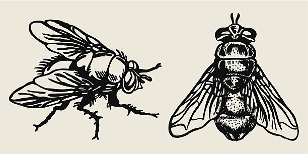 fly Hand drawn illustration fly insect stock illustrations