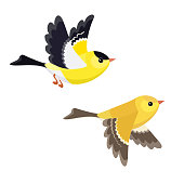 Flying American Goldfinch pair isolated on white background