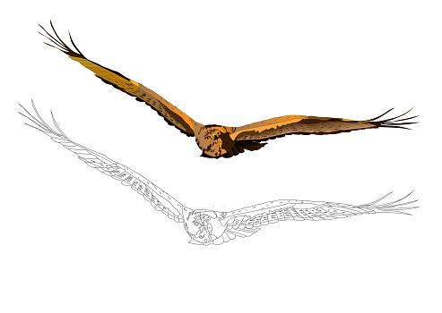 Flying bird. Bird of prey. Vector image. White background.
