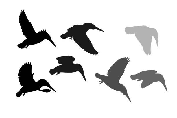 Flying birds. Kingfisher. Vector image. White background. Kingfisher. Vector image. kingfisher stock illustrations