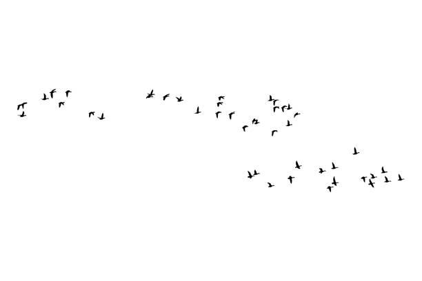 Flying birds. Vector image. White background. Vector image. flock of birds stock illustrations