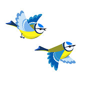 Flying Blue Tit isolated on white background