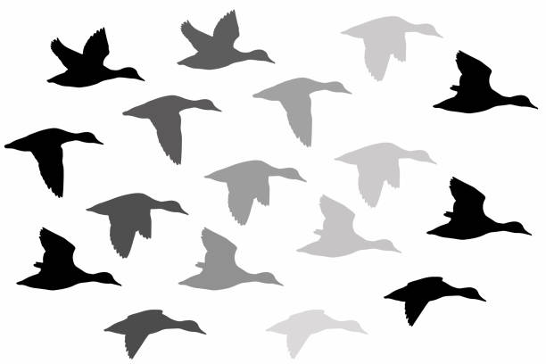 Flying duck. Realistic Vector image. White background. Common Duck: Red crested Pochard. Netta rufina. Vector image. duck stock illustrations