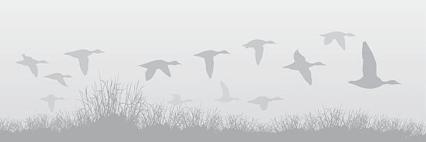 Flying Ducks in the Fog A mixed flock of flying ducks in fog.  Ducks are in different shades of gray.  Grass is grouped as one object.  Slight linear gradient used for foggy background.  EPS vs. 10. duck bird stock illustrations