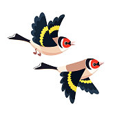Flying European Goldfinch pair isolated on white background