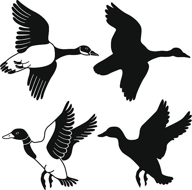 flying goose and duck A vector illustration of a flying goose and duck in black and white and as a silhouette. goose bird stock illustrations