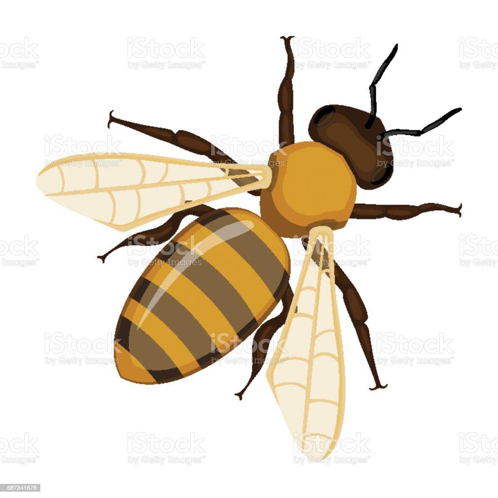 Fliegen realistische Honig Biene close-up Hand gezeichnete Muster auf weiß – Vektorgrafik