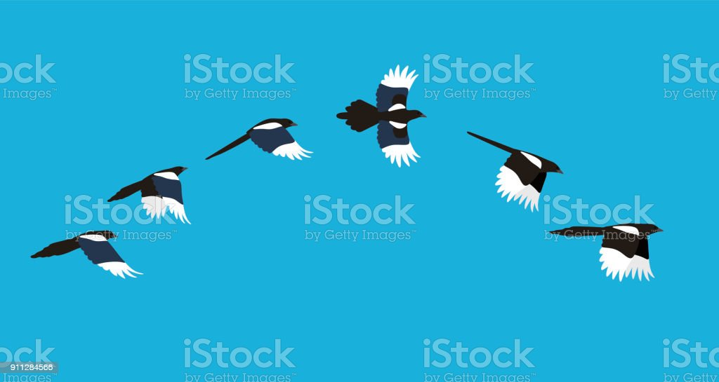 flying sequence of magpie, multiple exposure, vector illustration vector art illustration