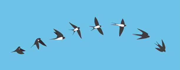flying sequence of swallow, multiple exposure, vector - wielokrotny obraz stock illustrations