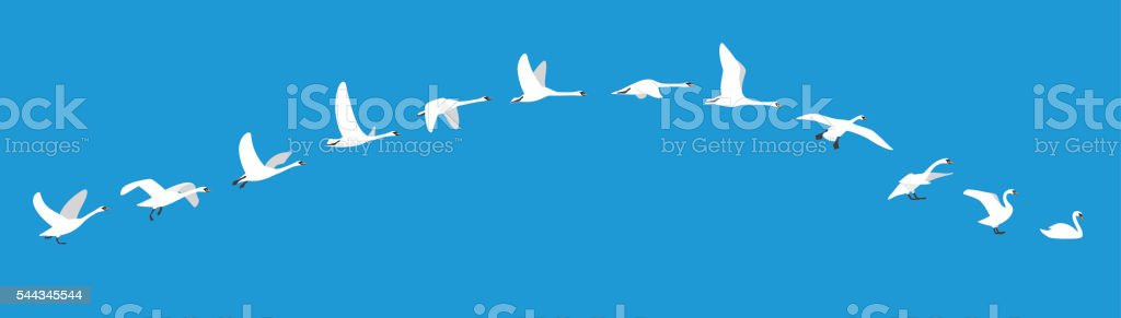 flying sequence of swan, multiple exposure, vector illustration vector art illustration