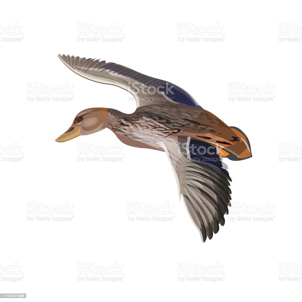 Flying wild duck . Vector illustration isolated on the white...