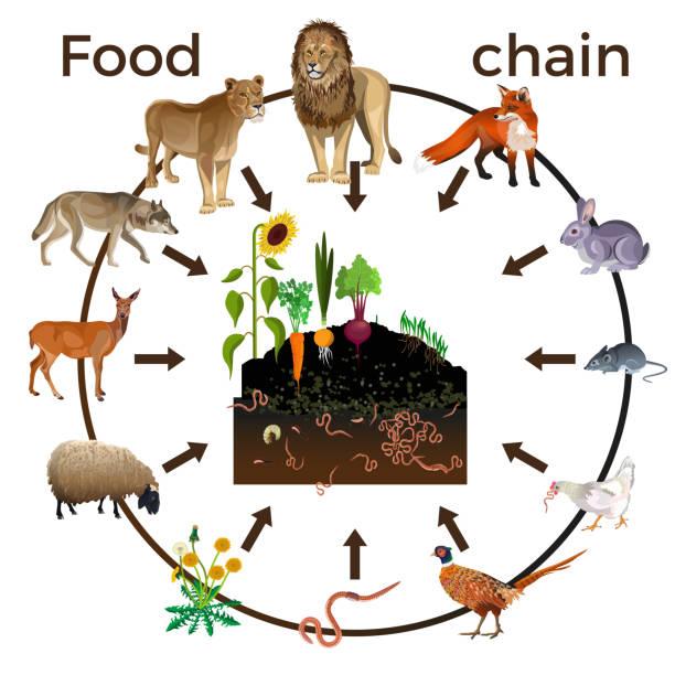 ilustrações de stock, clip art, desenhos animados e ícones de food chain animals - alter do chão