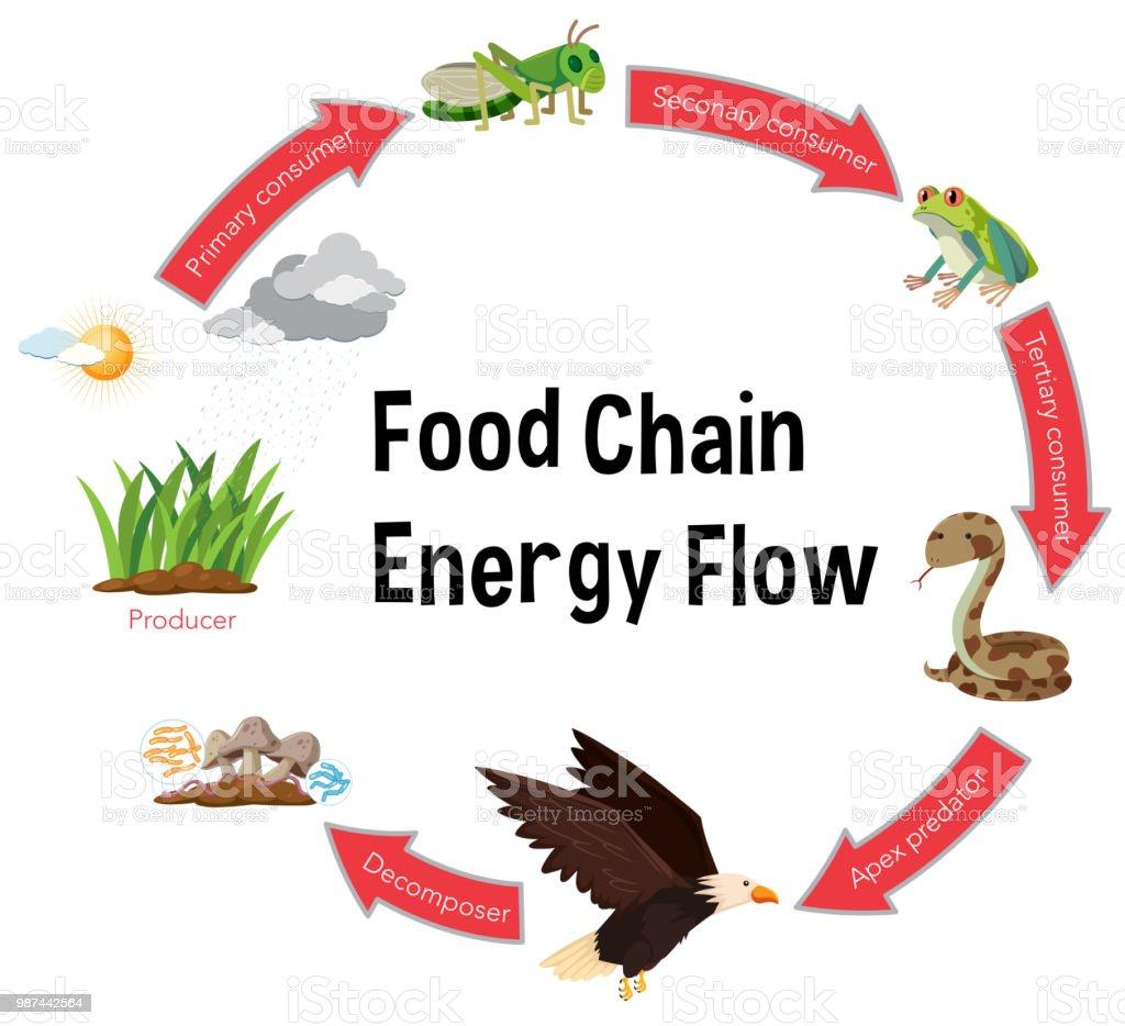 Ilustración de Diagrama De Flujo De Energía De La Cadena Alimentaria ...