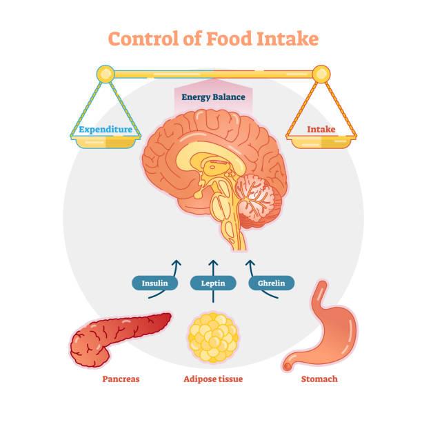 Food intake control vector diagram illustration Food intake control vector diagram illustration, educational medical information adipose tissue stock illustrations