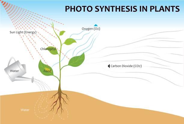 nahrung der pflanzen - stoffwechsel stock-grafiken, -clipart, -cartoons und -symbole