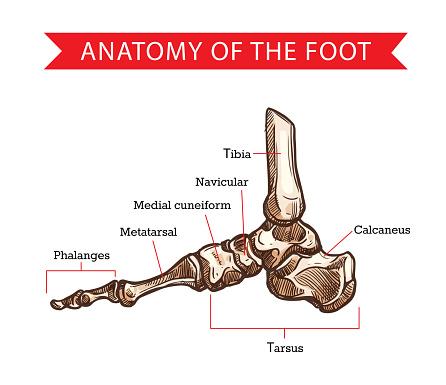 Foot bones, sketch of human anatomy