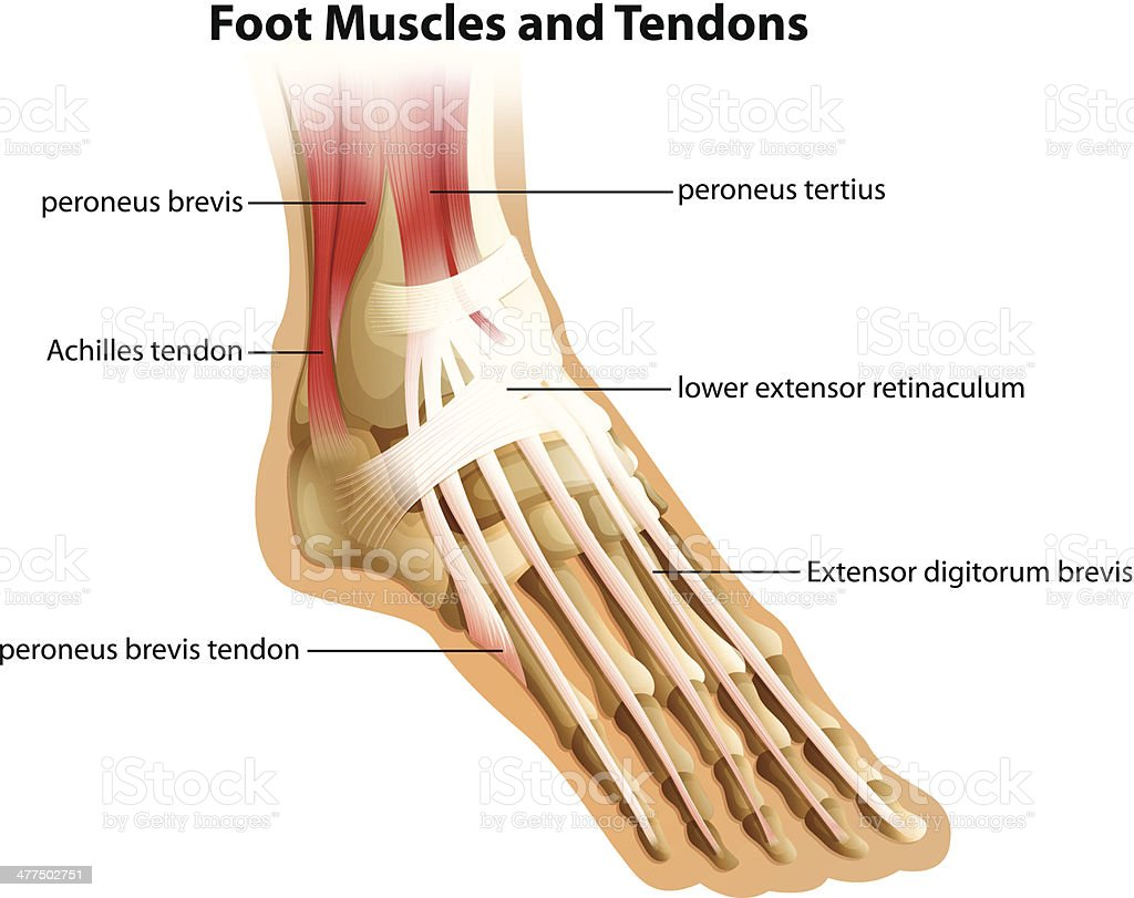 Foot Muscles and Tendons vector art illustration