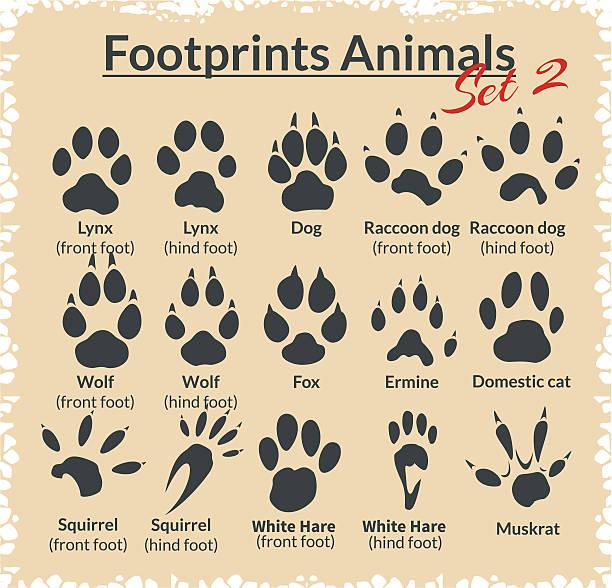 Footprints Animals - vector set. Footprints Animals - vector set - stock illustration. ermine stock illustrations