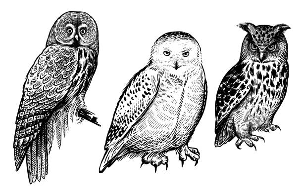 forest birds. realistic drawing of owls isolated on white background set. - sowa stock illustrations