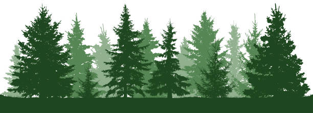 Forest fir trees silhouette. Coniferous green spruce. Christmas tree. Vector illustration on white background Forest fir trees silhouette. Coniferous green spruce. Christmas tree. Vector illustration on white background black white snow scene silhouette stock illustrations