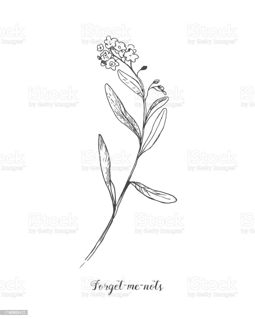 forget-me-not-vector-botamical-line-art-in-vintage-style-black-and-vector-id1180803412