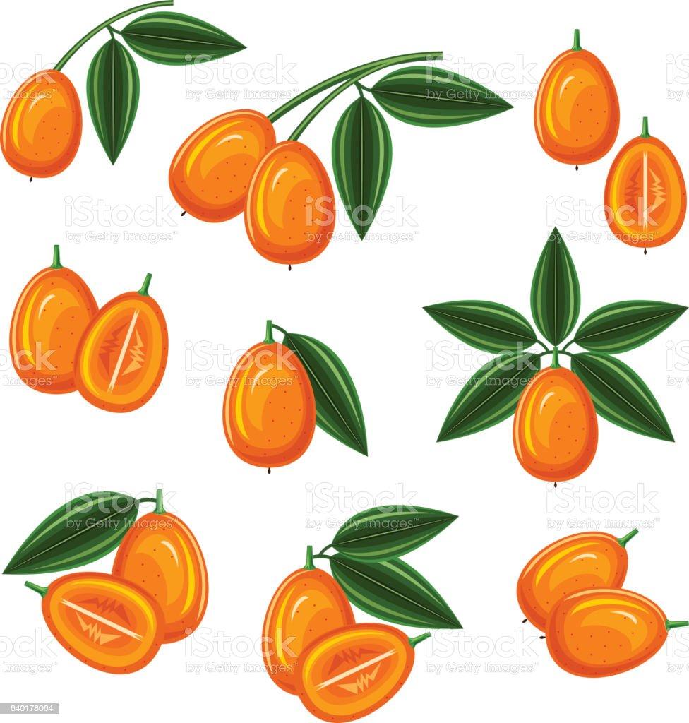 Fortunella margarita vector art illustration