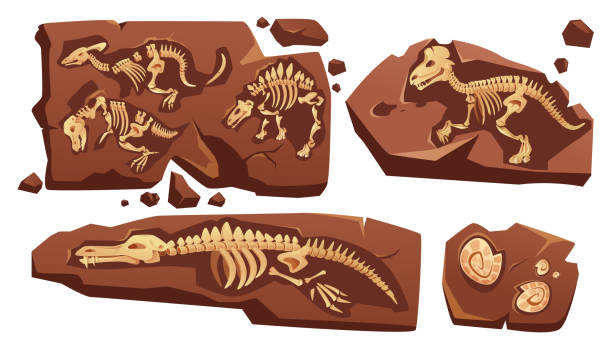 Fossil dinosaurs skeletons, buried snails shells Fossil dinosaurs skeletons, buried snails shells, paleontology finds. Vector cartoon illustration of stone sections with bones of prehistoric reptiles and ammonites isolated on white background bristle animal part stock illustrations