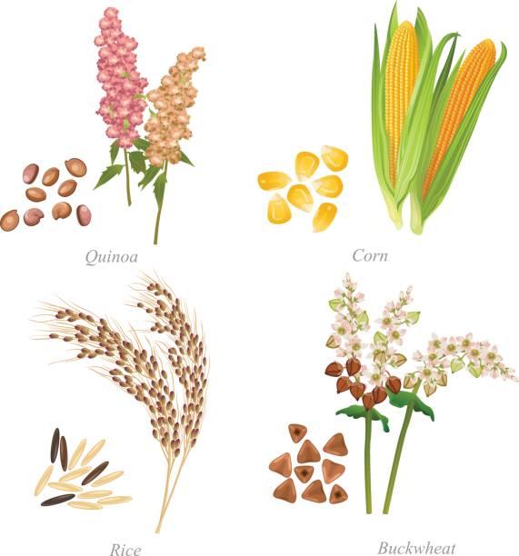 ilustrações de stock, clip art, desenhos animados e ícones de four cereals in form of grains and ears - quinoa