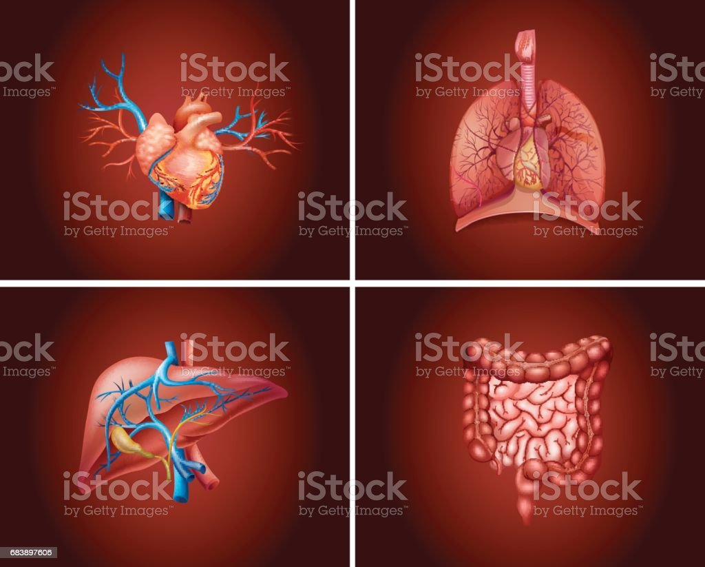 Four different parts of human organs vector art illustration