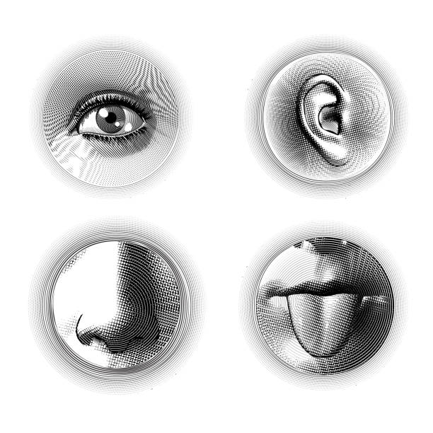 Four human senses engraving on white BG Four human part eye ear nose and tongue engraving drawing in circle shape isolated on white background sensory perception stock illustrations