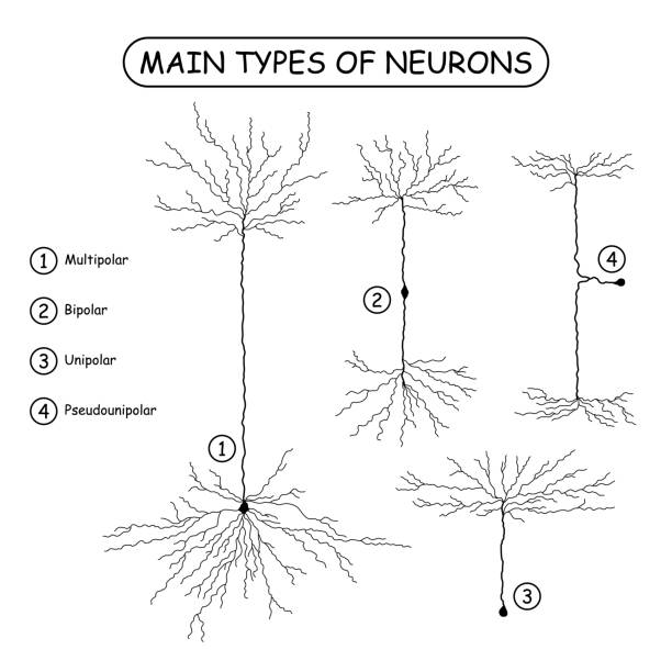 Four main types of neurons isolated on white. Four main types of neurons isolated on white. Realistic neuron silhouette vector illustration. Brain neural cells set. Medical or science design elements. dendrite stock illustrations