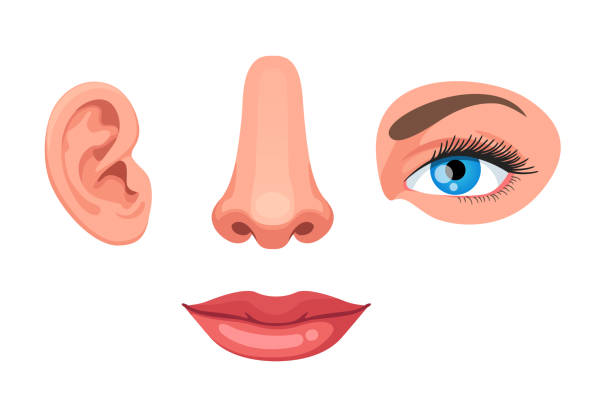 four parts of human face, ear, nose, eye and lips. educational anatomy visual aid woman organs. flat style vector clipart - nos stock illustrations