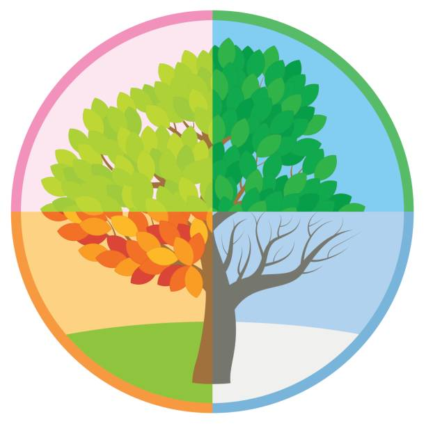 four seasons tree in spring, summer, fall and winter arranged in a circle - tree throughout the course of a year with different foliage in typical colors and shades - vector illustration. - four seasons stock illustrations