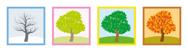 four seasons. trees in winter, spring, summer and fall with different foliage in typical colors and shades while the leaves turn throughout the course of a year. vector illustration. - four seasons stock illustrations