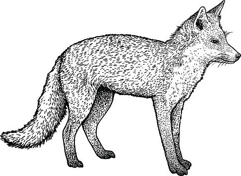 Fox illustration, drawing, engraving, ink, line art, vector