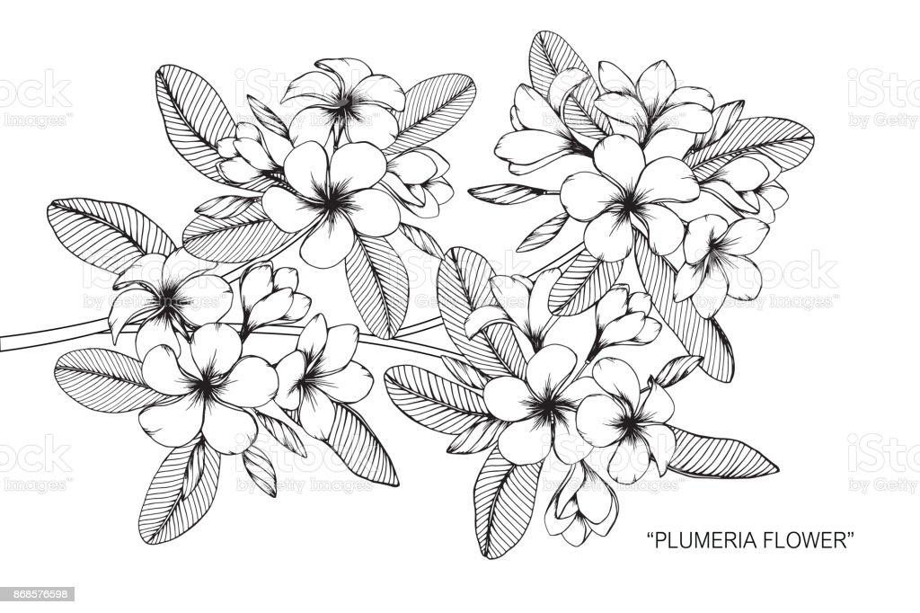 Fleur De Frangipanier Dessin Cliparts Vectoriels Et Plus D Images
