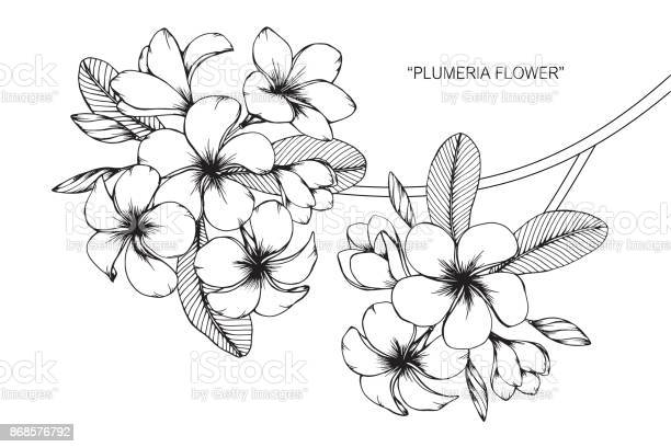 Free frangipani plumeria Images, Pictures, and Royalty