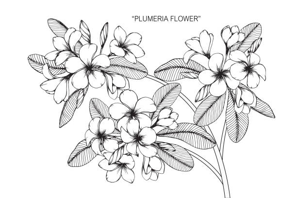 Frangipani flower drawing. Hand drawing and sketch Frangipani flower. Black and white with line art illustration. frangipani stock illustrations