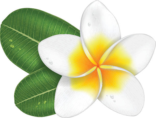Frangipani flower with leaves. Frangipani flower with leaves, photo-realistic vector illustration. frangipani stock illustrations