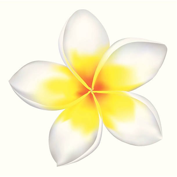Frangipani  frangipani stock illustrations