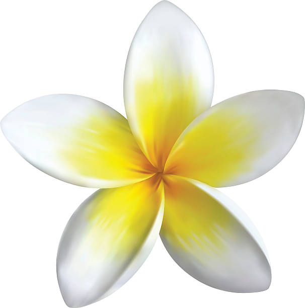 frangipani frangipani on isolated background plumeria stock illustrations