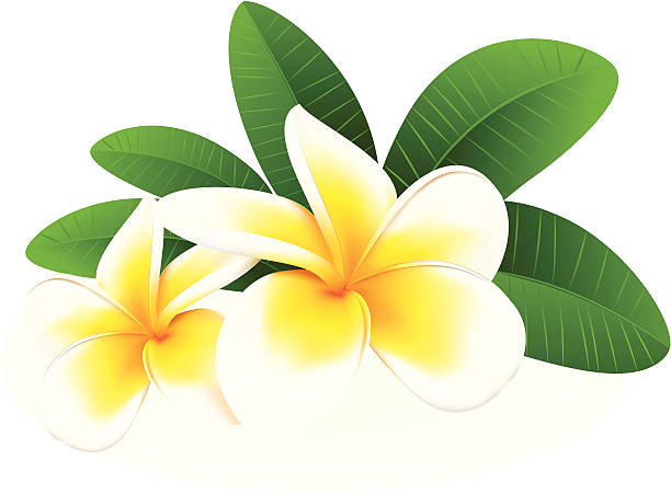 Frangipani, vector illustration Frangipani, vector illustration frangipani stock illustrations