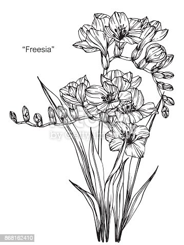 Freesia Flower Drawing Stock Vector Art U0026 More Images Of Art 868162410 | IStock