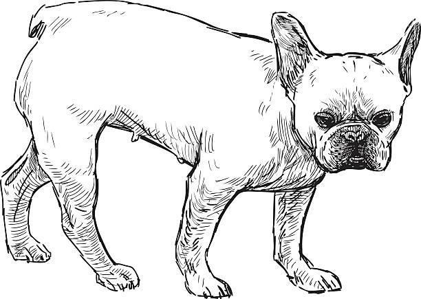 French Bulldog vector art illustration