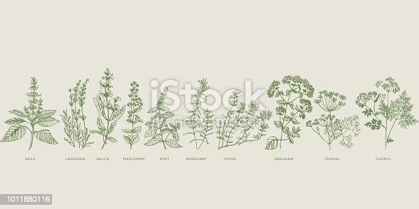 French cooking herbal sketch set. Basil, lavender, salvia, marjoram, mint, rosemary, thyme, oregano, fennel, chervil hand drawn design element.