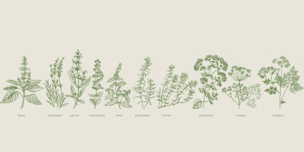 French cooking herbal sketch set French cooking herbal sketch set. Basil, lavender, salvia, marjoram, mint, rosemary, thyme, oregano, fennel, chervil hand drawn design element. lavender plant stock illustrations